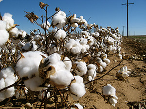 BT-Cotton-Reasons-Marijuana-Is-Still-Illegal